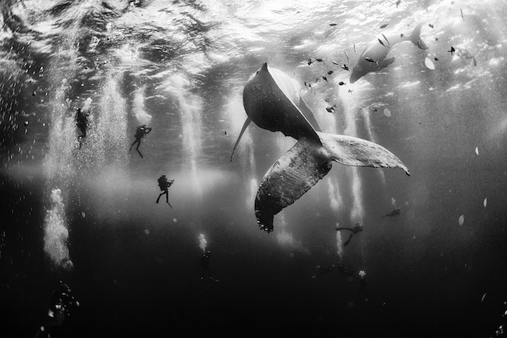Diving with a humpback whale and her new born calf while they cruise around Roca Partida Island, in Revillagigedo, Mexico. This is an outstanding and unique place full of pelagic life so we need to accelerate the incorporation of this islands into UNESCO as natural heritage site in order to increase the protection of the islands against the prevailing ilegal fishing corporations and big game fishing.